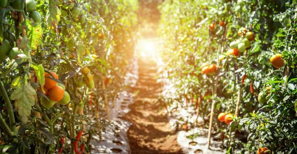 El TJUE da la razón parcialmente a un agricultor murciano por las mandarinas Nadorcott